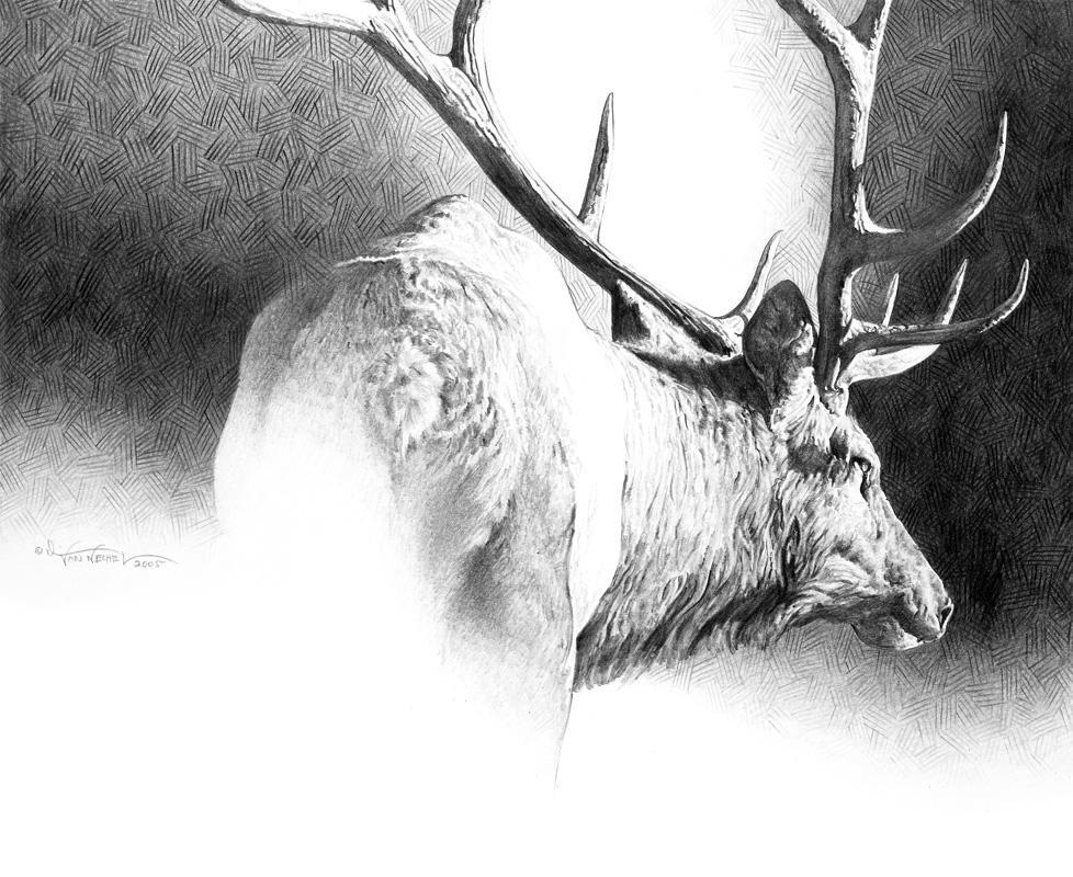 Bull Elk Study