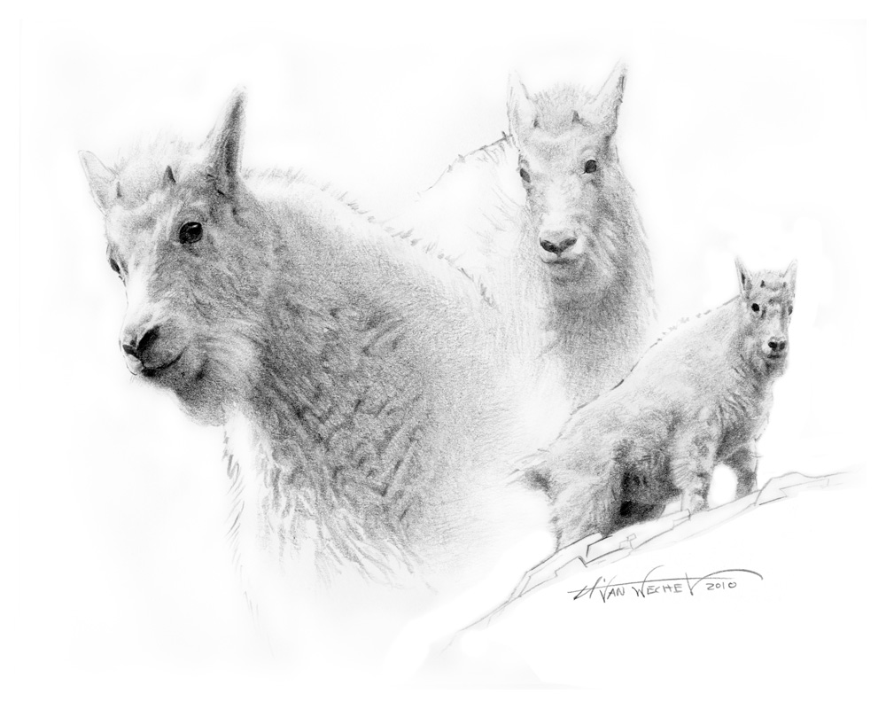 Kid Mountain Goat Study