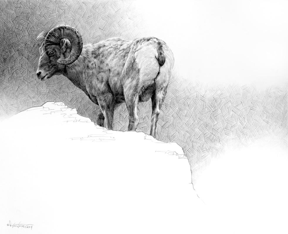 Bighorn Ram Study
