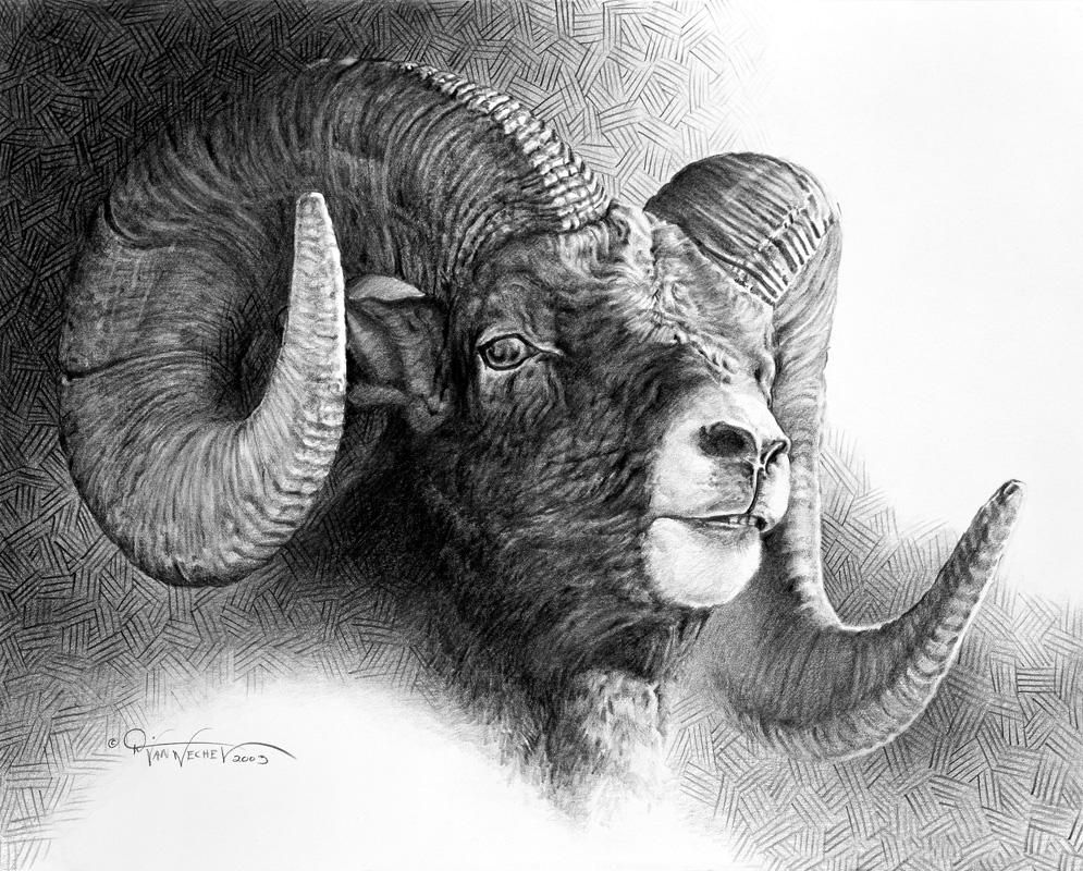 Rocky Mountain Ram Study