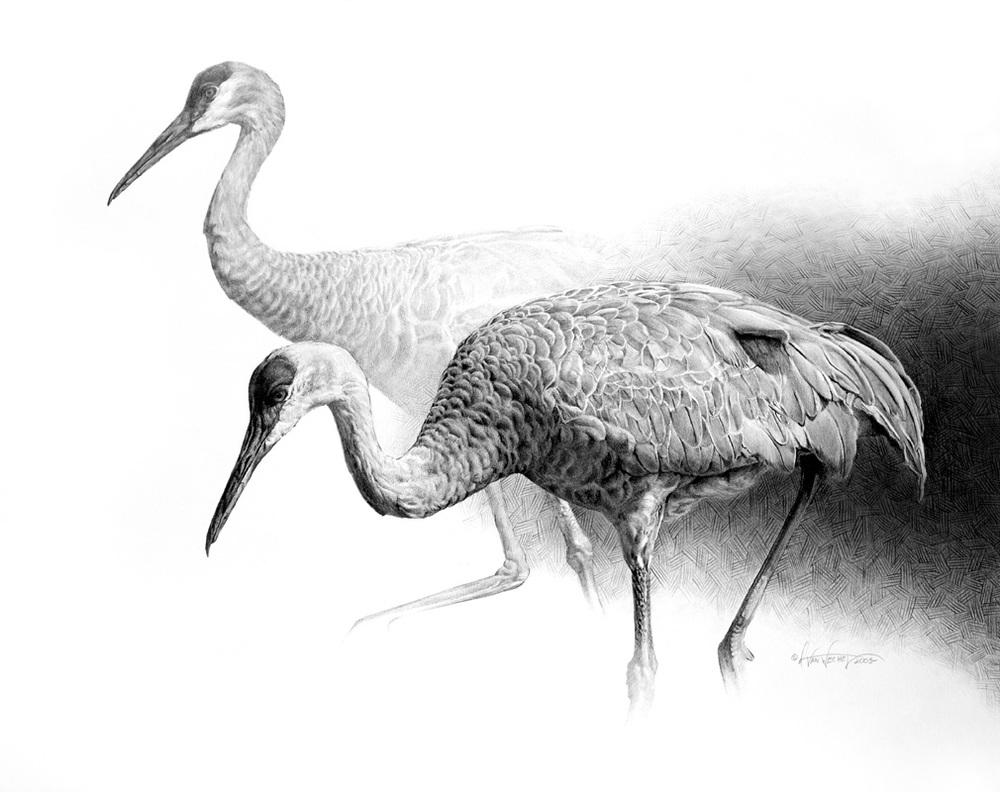 Sandhill Crane Study