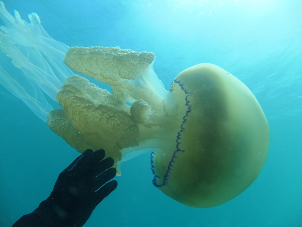 Jellyfish 5 compressed.jpg