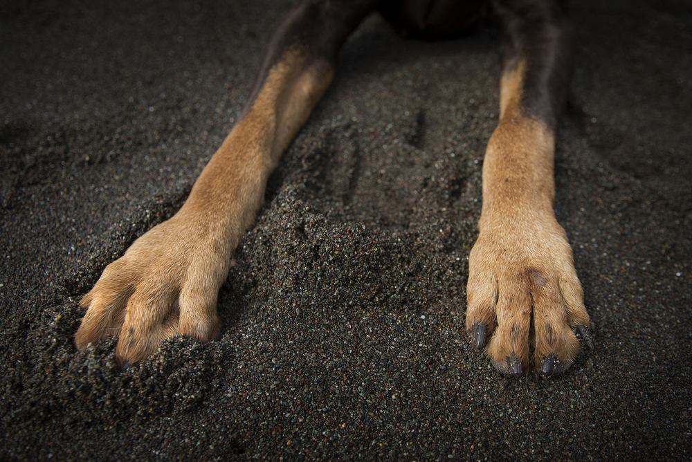 detail of doberman's paws on black sand, bay area