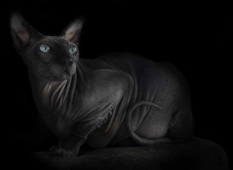Private commission of beautiful Sphynx cat. On location cat photographer Alicia Rius.