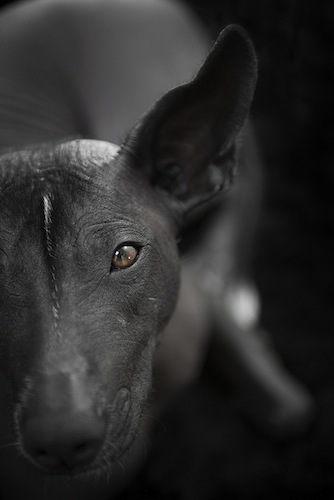 Akame, Mexican Hairless Dog - Xoloitzquintle
