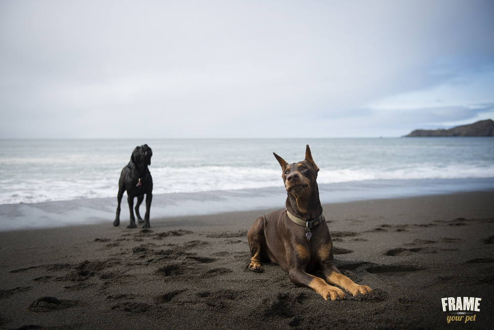 Bonz (the black Bullmastiff in the back howling) & Bosch (the brown Doberman chilling on the shore)