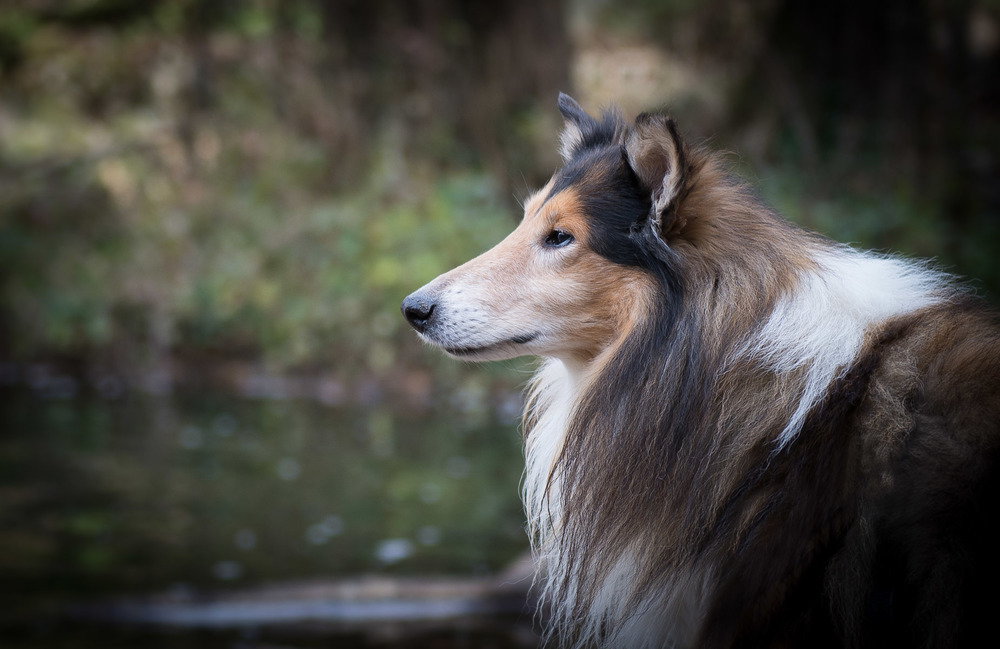 photo of rescued Long hair collie in the forest, Barcelona