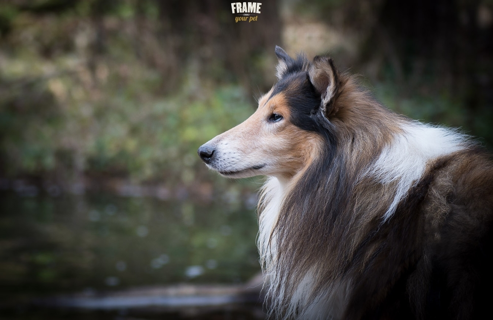 Met Set, the elegant long hair collie from Barcelona.