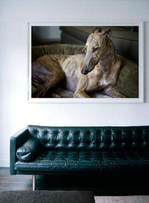 Framed Fine Art photo of a Greyhound. Perfect to decorate your home or office.