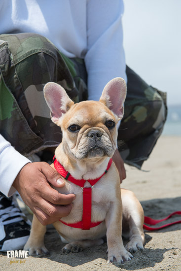 French Bulldog puppy in the beach.