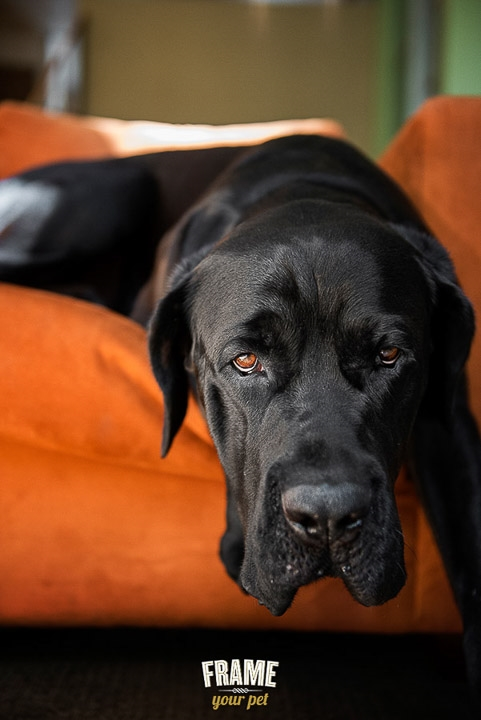 dog-photographer-Los-Angeles-bullmastiff-doberman-photo-session-Frame-Your-Pet-31-2.jpg