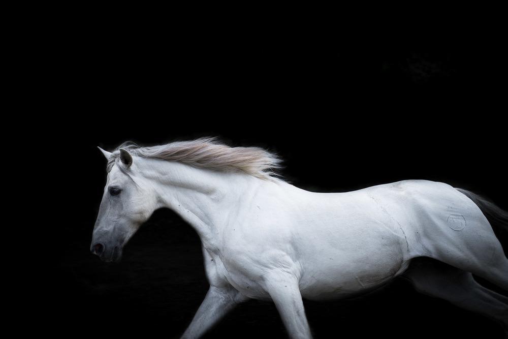 white-horse-running-fine-art-picture-equine-photography.jpg