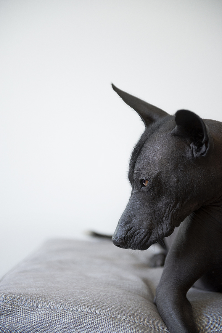 amazing-dog-portrait-of-mexican-black-hairless-dog.jpg