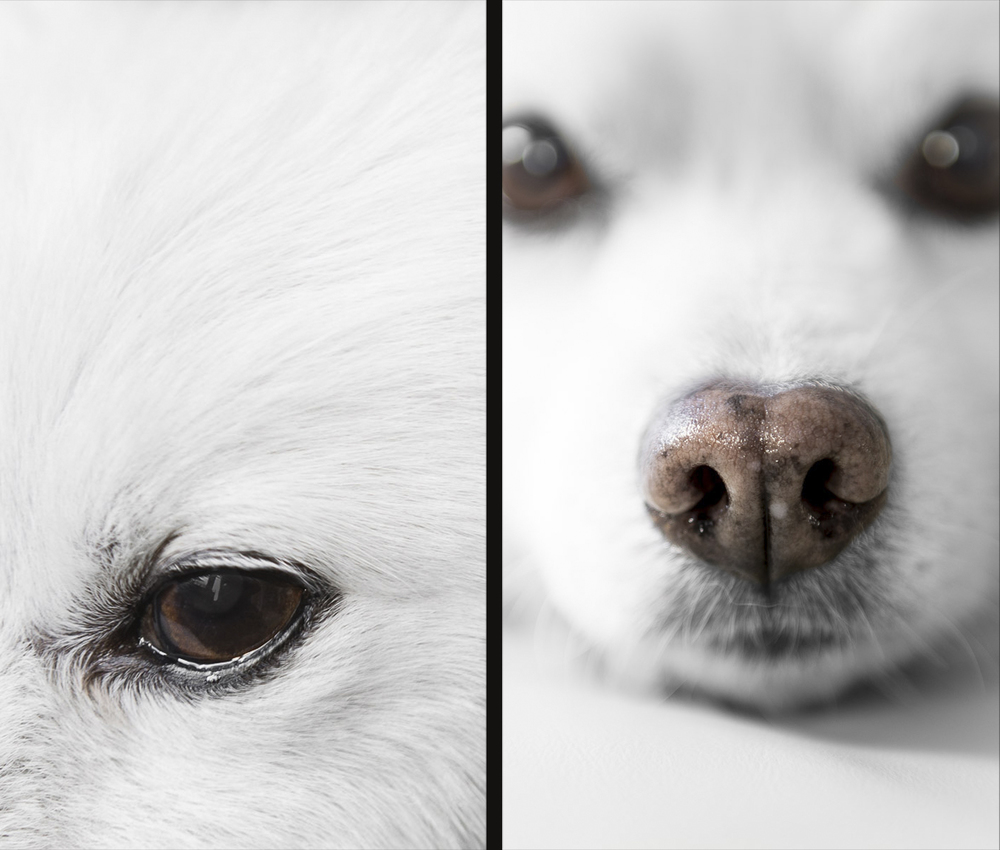 american-eskimo-white-close-up-photography-nose-eyes.jpg