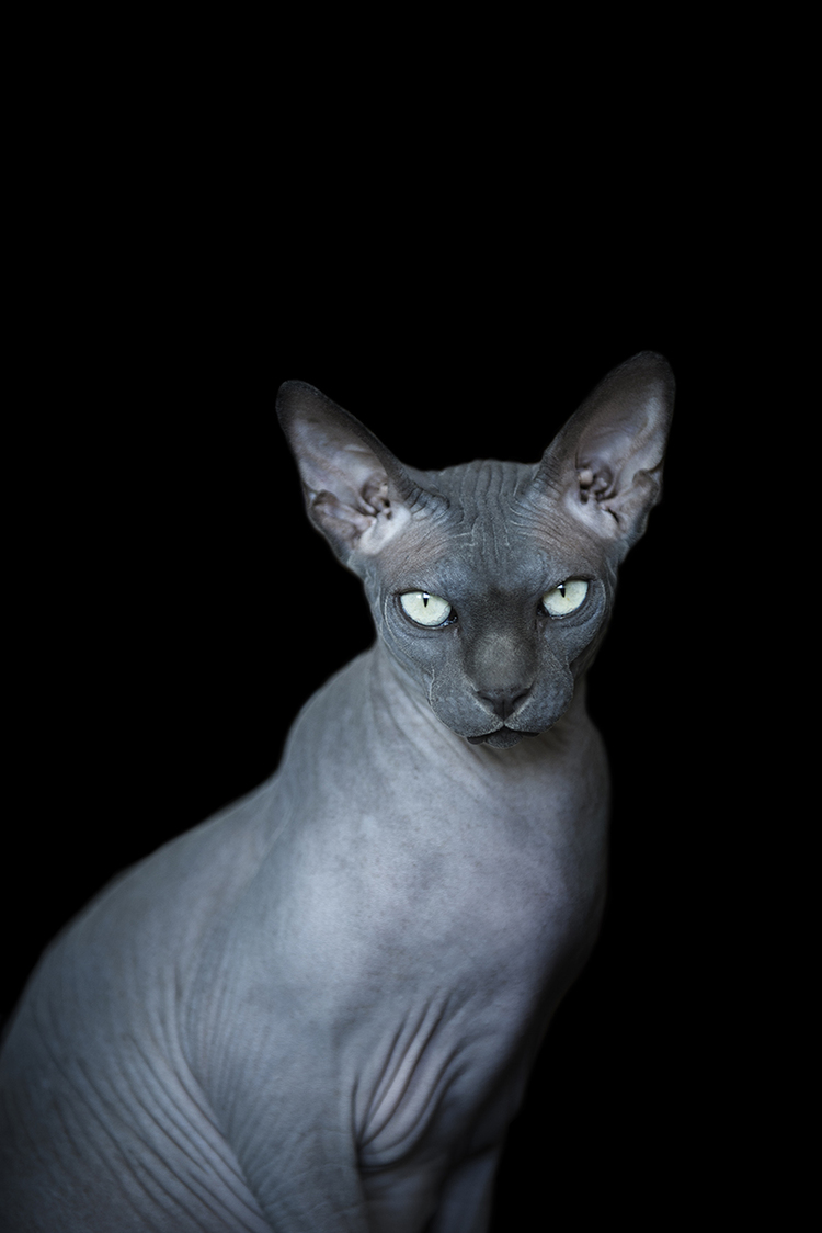 sphynx katzen and katzenbabys on pinterest. Black Bedroom Furniture Sets. Home Design Ideas