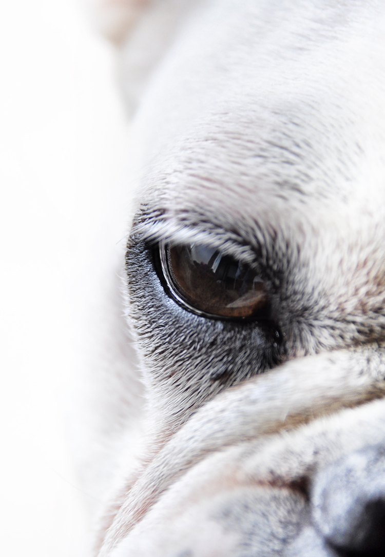 detal-of-eye-of-white-french-bulldog.jpg