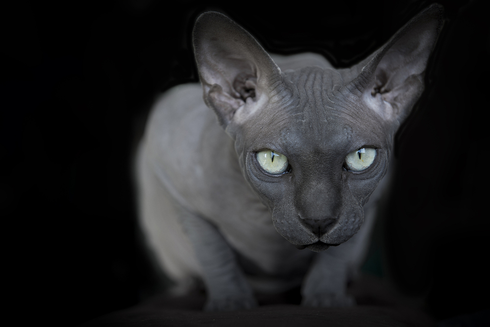 fierceless-cat-photo-looking-at-nikon-d600-green-eyes.jpg