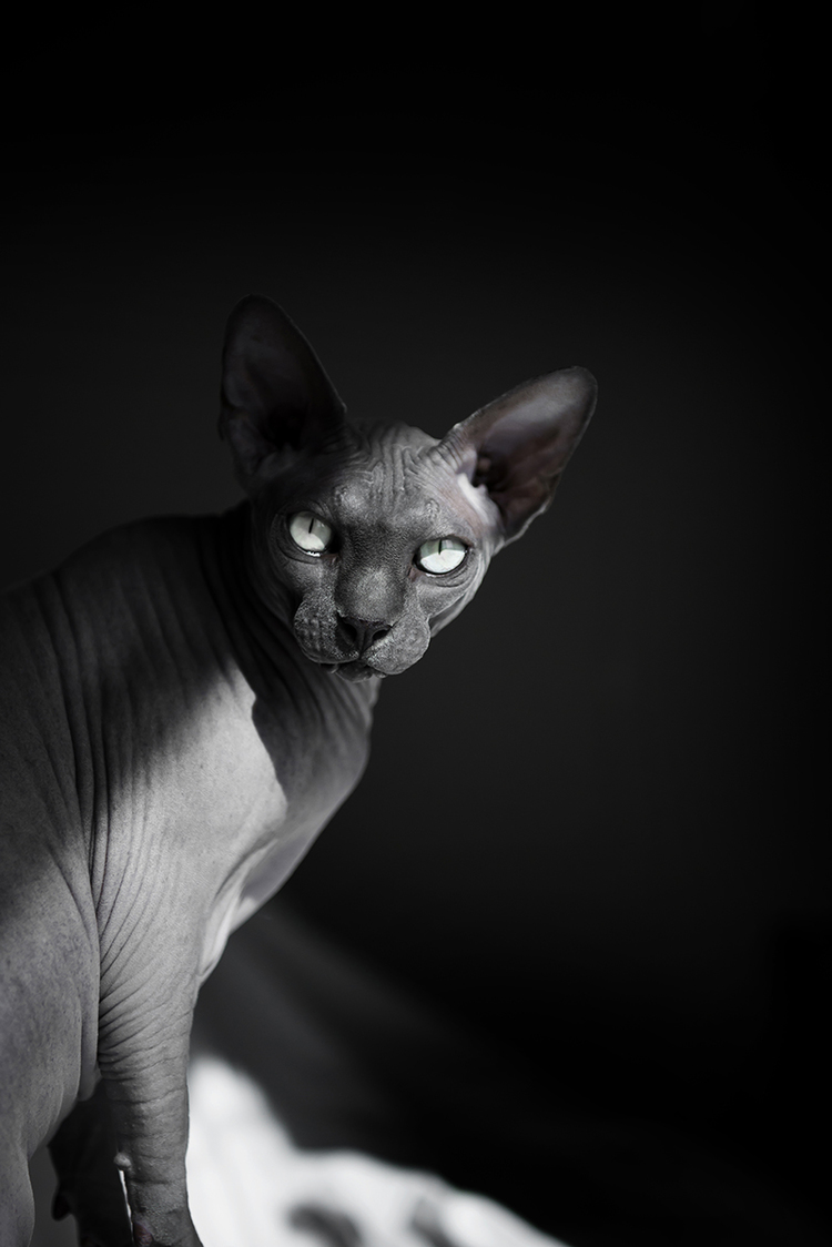 photos-of-grey-cat-with-no-hair.jpg
