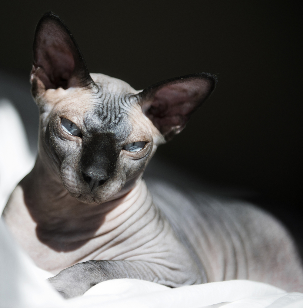 san-francisco-hairless-cat-session.jpg