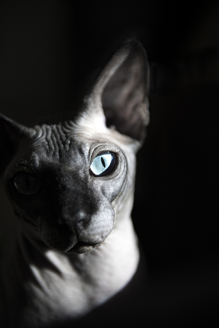 studio-session-cat-with-blue-eyes-dramatic-photo-santa-monica.jpg