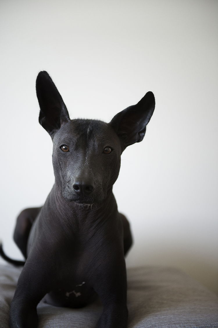 Xoloitzcuintli-dog-sitting-bernal-hills-professional-photos.jpg