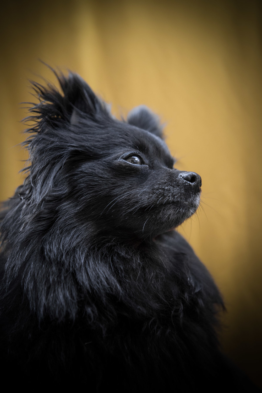 black-pomeranian-pictures-dog-photographer-Los-Angeles-frame-your-pet-10.jpg
