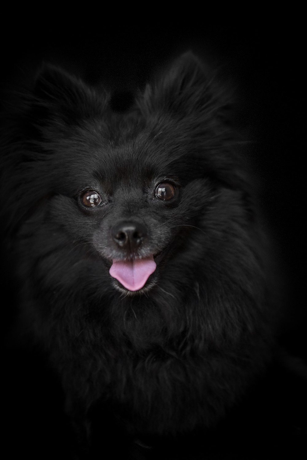 black-pomeranian-pictures-dog-photographer-Los-Angeles-frame-your-pet-29.jpg