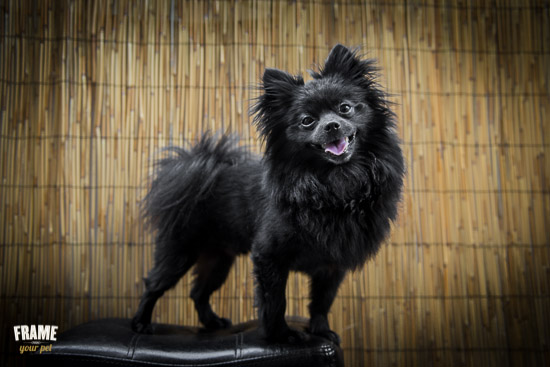 Black Pomeranian posing on top of a stool, Los Angeles.