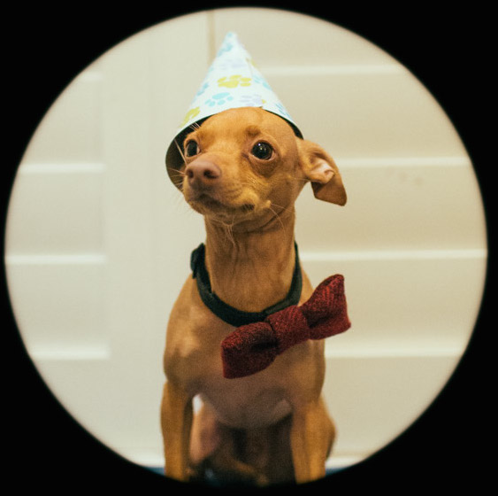 Tuna the dog wearing his favorite bow tie and party hat.