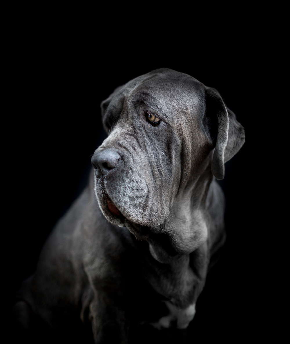 dog-photographer-los-angeles-neapolitan-bullmastiff-elegant-photo.jpg