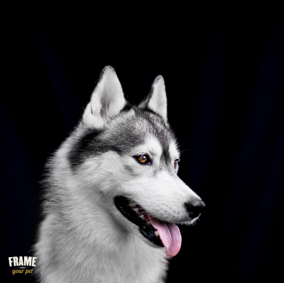 Dakota: the gorgeous daughter of the Spanish Champion of Siberian Huskies (5 years young).