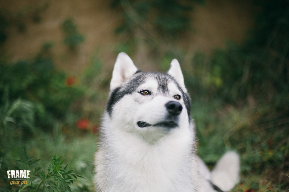 female siberian husky dog photo session