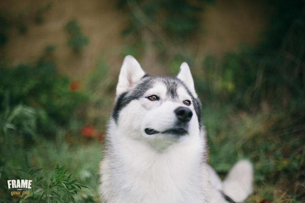 female siberian husky dog photo session