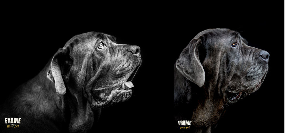 fine art portraits of black neapolitan bullmastiff