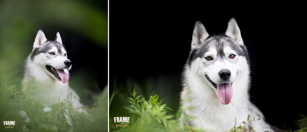 portraits of siberian husky