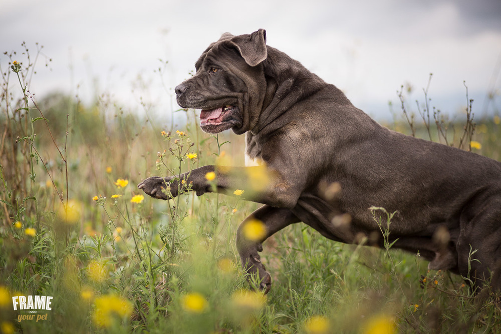 bullmastiff running in flower field