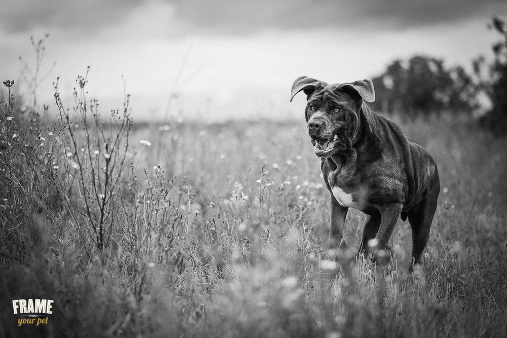 b&w photo of neapolitan bullmastiff