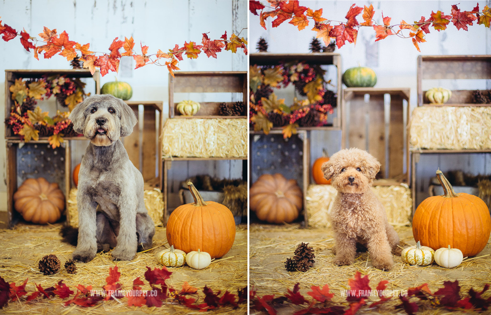 Dogs posing in my DYI Thanks Giving photo booth decoration.