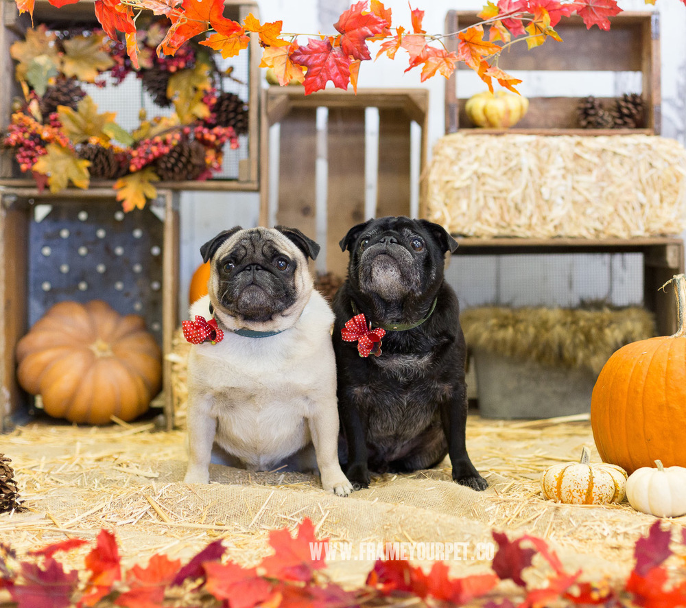 dog-photos-of-pugs-with-fall-home-decor