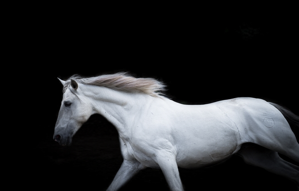 white-horse-running-fine-art-picture-equine-photography.jpg