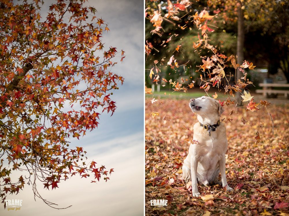 golden retriever with autumn leafs