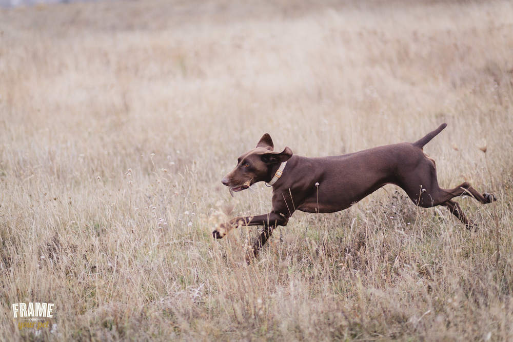 hunter-dog-in-action