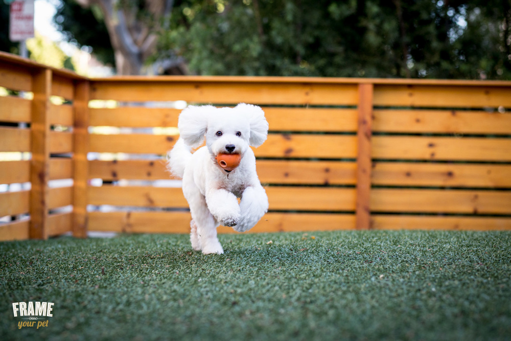 white-bichon-frise-fetchin-ball