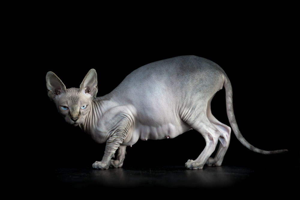 pregnant-sphynx-cat-photos