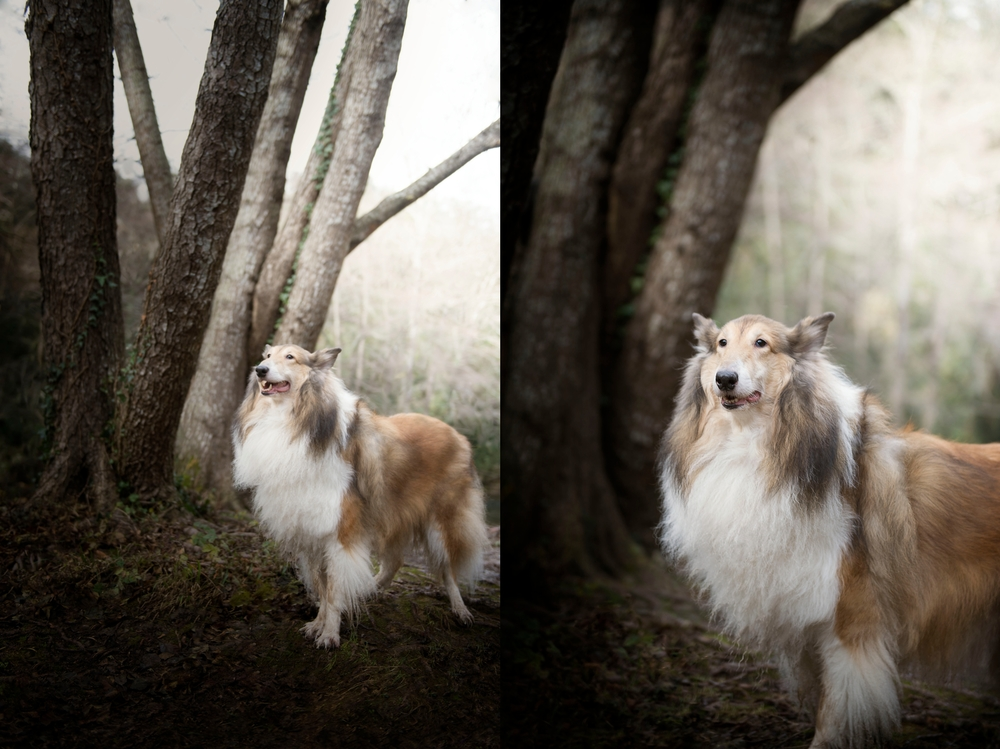 long-hair-collie-dog-photography-photo-in-forest.jpg
