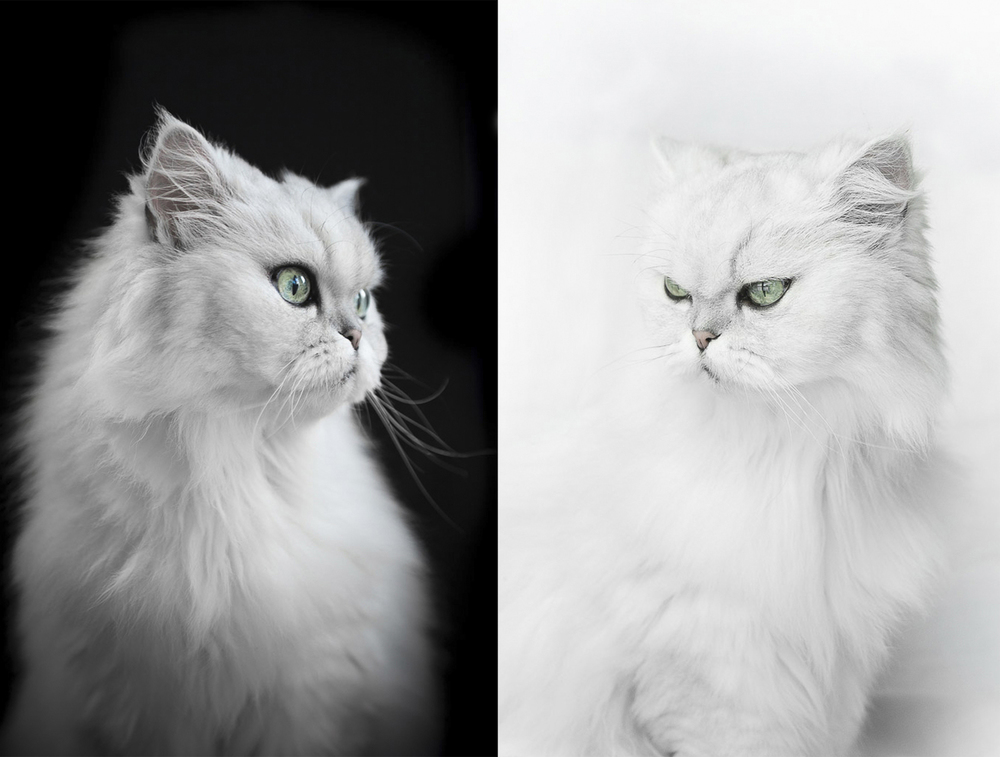white-persian-cat-photos.jpg