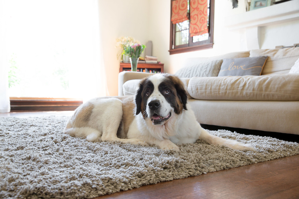 saint-bernese-photos-at-home-on-rug.jpg