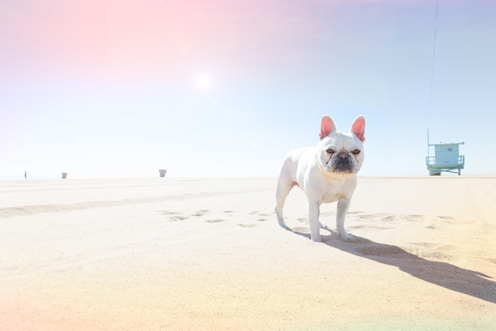 pet-photographer-los-angeles-french-bulldong-at-the-beach.jpg