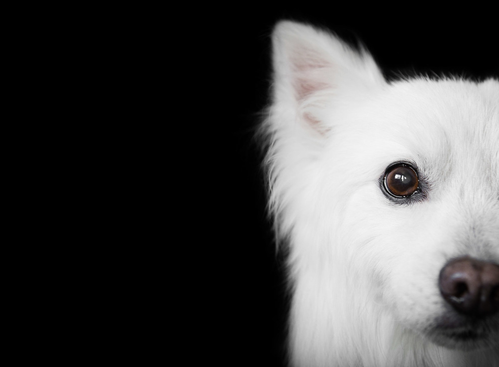 American Eskimo fine art session portrait.