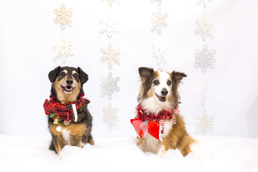 modern-holidays-photo-sessions-with-dogs